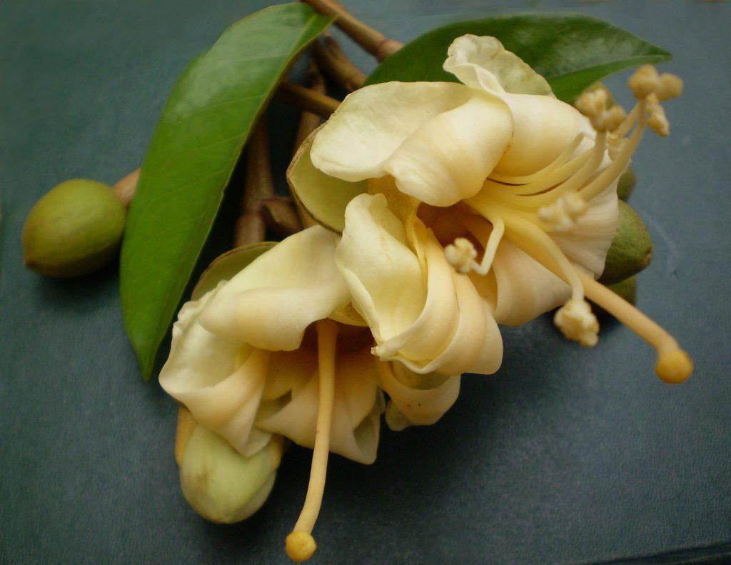 Fleurs de durian