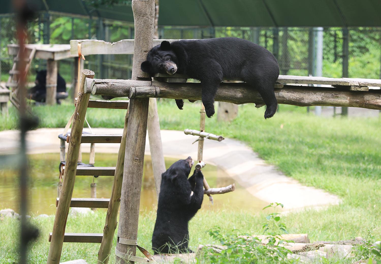 Le centre héberge principalement des ours noir d'Asie (Ursus thibetanus) (Gấu ngựa, litterralement ours cheval) et des ours malais