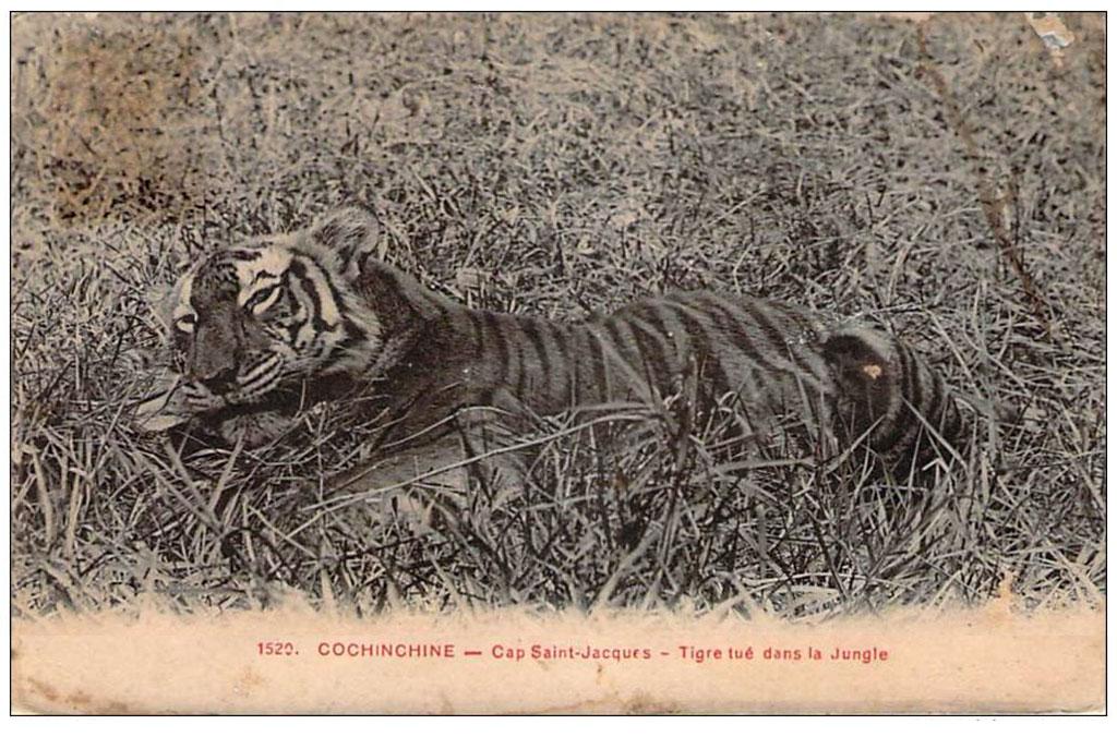 Tigre tué dans la jungle - Saint-Jacques - Début XXe siècle