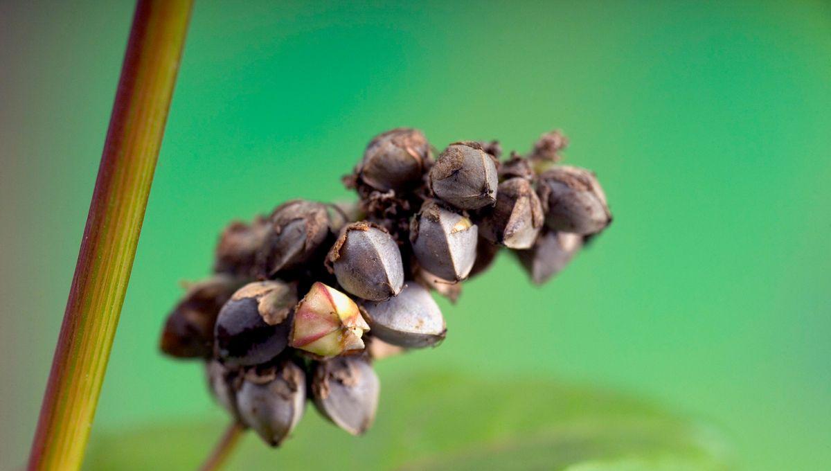 Grains de sarrasin