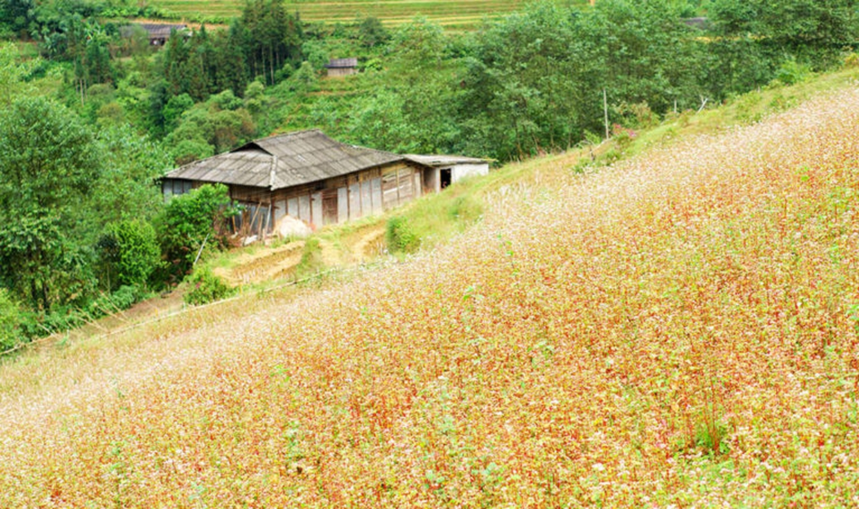 Un coin d'un champ de sarrasin à Lu Than